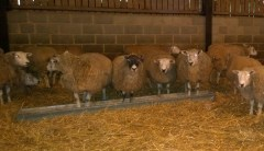 LL1 Expectant ewes at Hadsham Farm, Horley