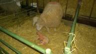 LL5 Ewe adopting a lamb at Hadsham Farm