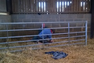 GFD and Chris helping a ewe in difficulties
