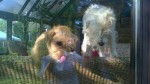 Molly and Pip, gorgeous little terriers (Pip is Dora's mother). Tryiong to lick my reflection