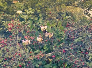 Hawthorn berries, rosehips and honeysuckle in North Oxon