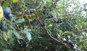 Ripening sloes over Bramshill