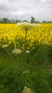 early hogweed and oil seed rape