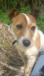 Dora the Jack Russell Terrier